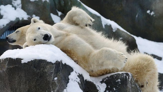 Dua beruang kutub di kebun binatang schoenbrunn (reuters/heinz-peter