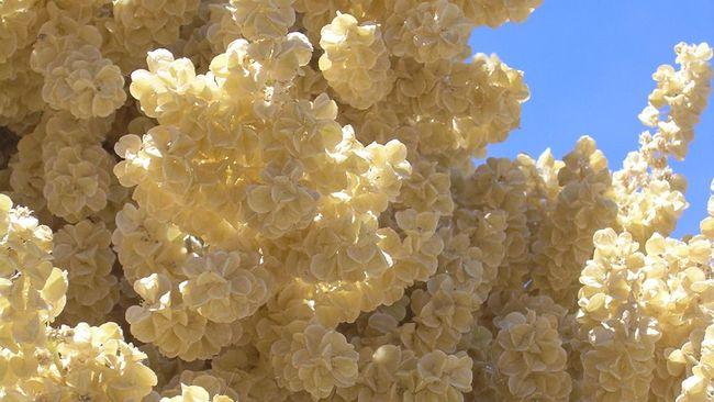 Setelah 50 Tahun, Bunga Gurun Langka Mekar Pertama Kalinya